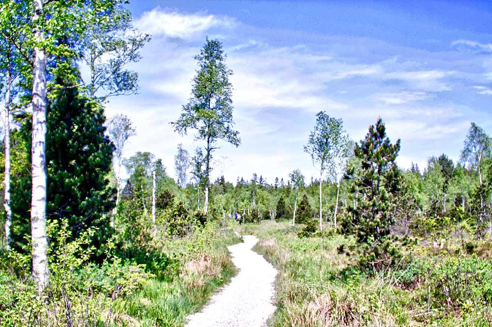 Der Bohnenpfad zwischen Bäumen im Murnauer Moos