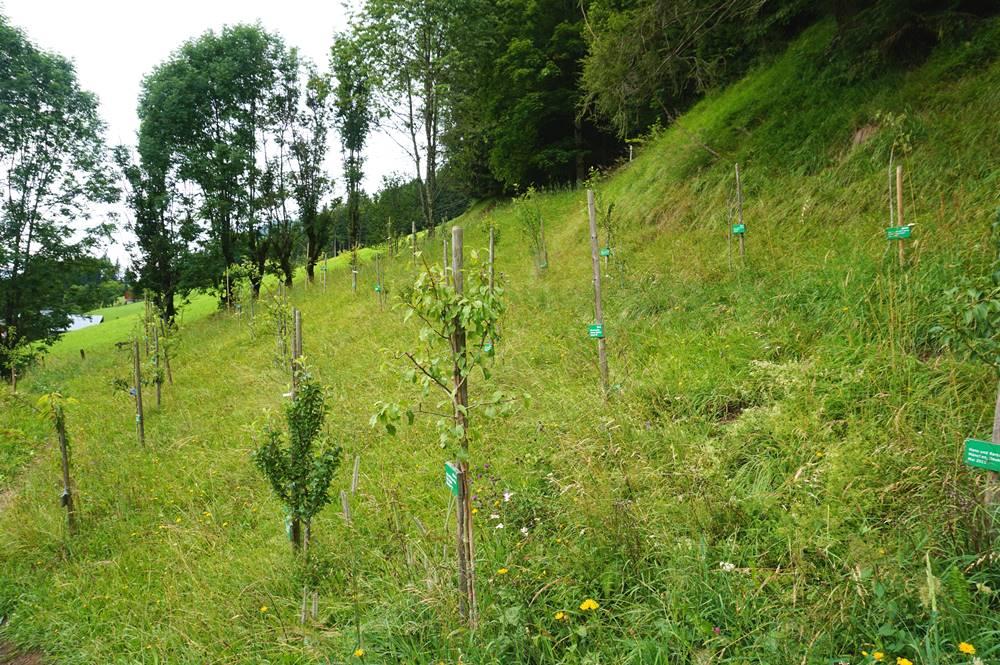 Hier wurden für jeden Stammgäste, der bereits mehr als 40 Jahre in Alpbach Urlaub macht, ein Baum gepflanzt