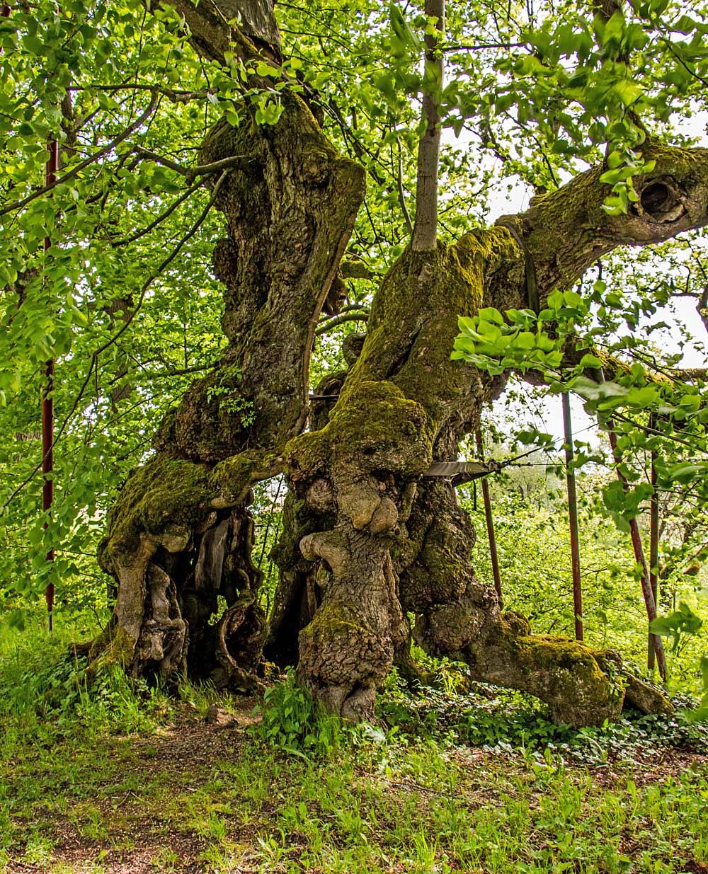 Die Wolframslinde bei Ried im Bayerischen Wald