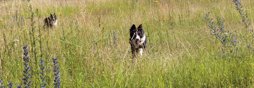 Hunde beim Spielen auf der Wiese
