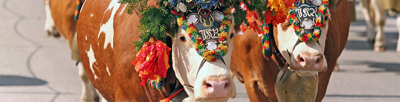Mit Blumen und Bändern werden die Kühe geschmückt