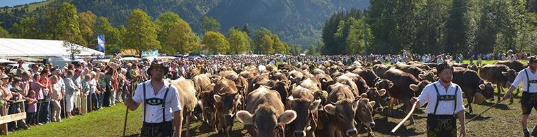 Vieh beim Viehscheid