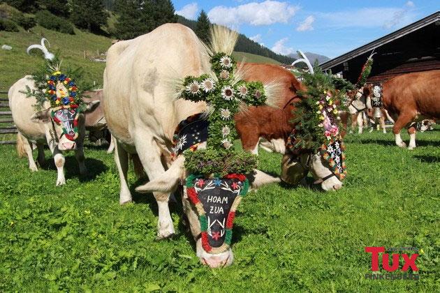 Aufgebüschelte Kühe beim Almabtrieb im Rahmen des Hintertuxer Oktoberfests