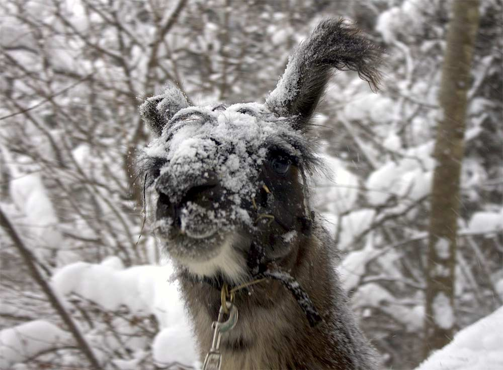 Ein Lama im Winter