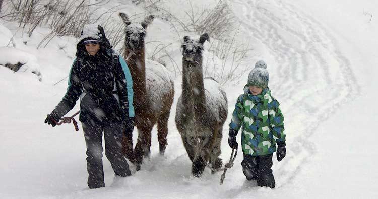 Lamawanderung mit der ganzen Familie im Schnee