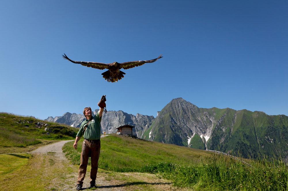 Falkner mit Greifvogel im Flug