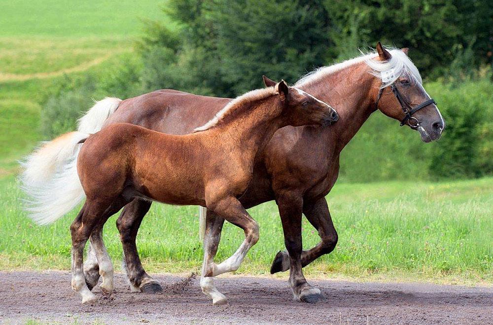 Pferd und Fohlen bei der Fohlenschau im Schwarzwald