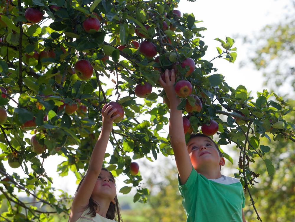 Kinder pflücken Äpfel