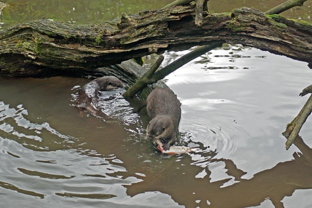 Ein Zwergotter beim Fressen eines Fischs