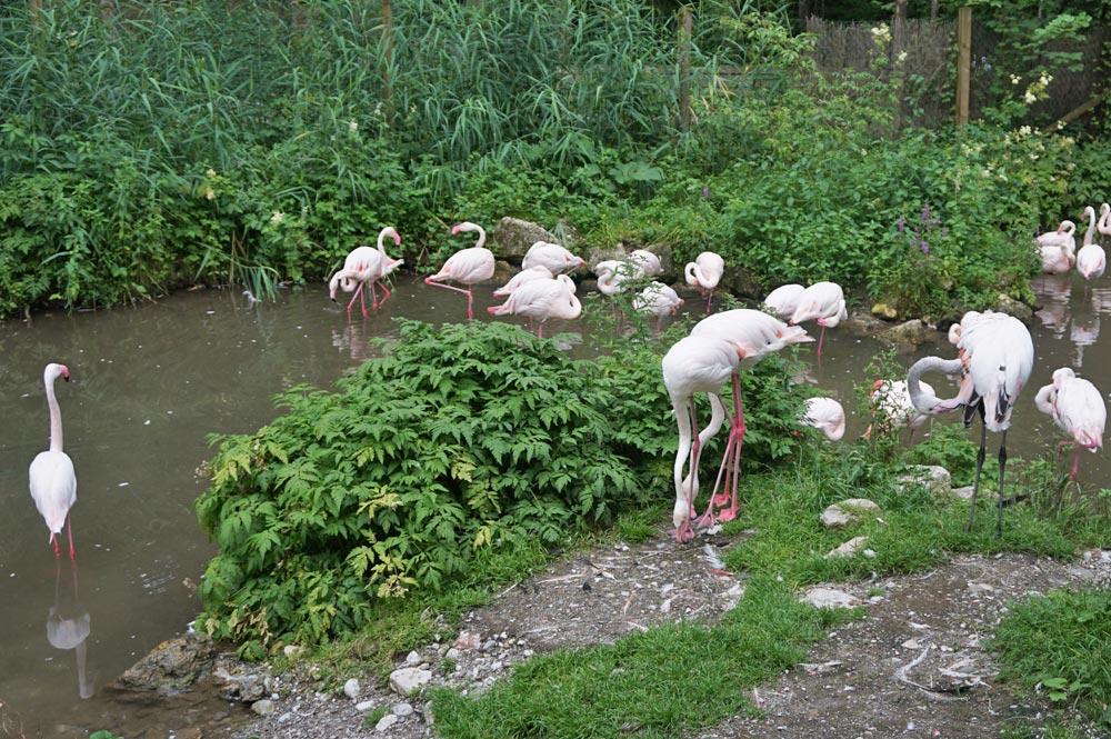 Eine Gruppe Flamingos im Raritätenzoo Ebbs
