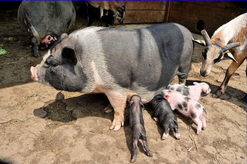 Hängebauchschwein mit Ferkeln im Bauernhof des Raritätenzoo Ebbs