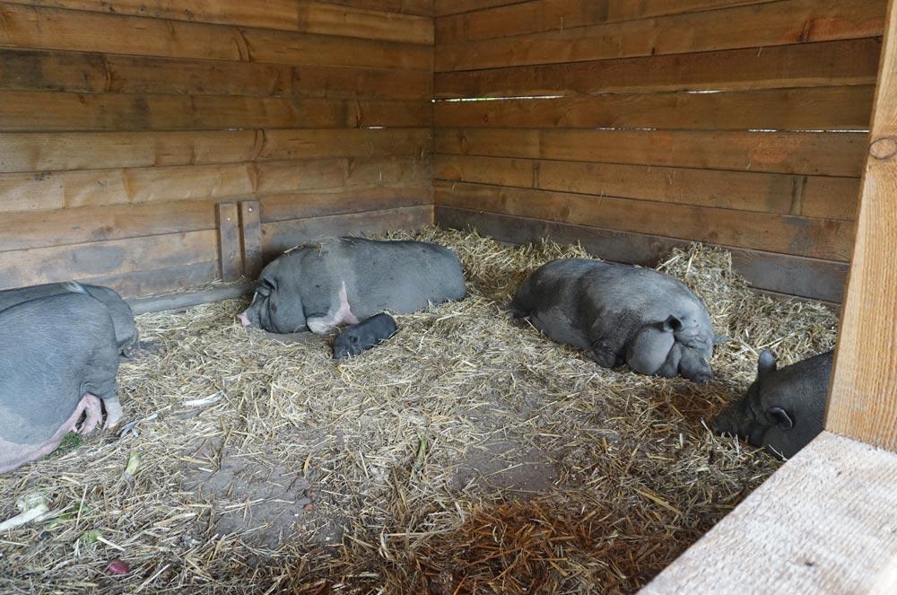 Ruhende Hängebauchschweine im Bauernhof des Tierparks
