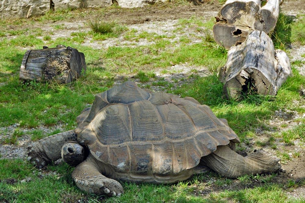 Blick auf eine der Riesenschildkröten im Raritätenzoo Ebbs