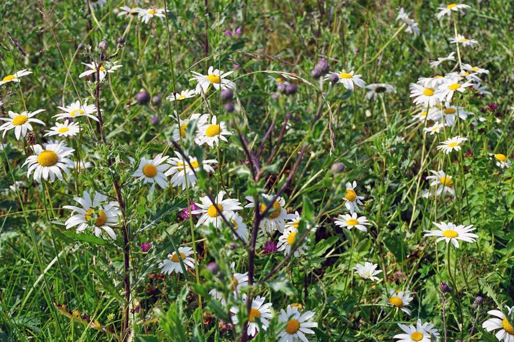 Blumenwiese auf der auch Wiesen-Margeriten wachsen