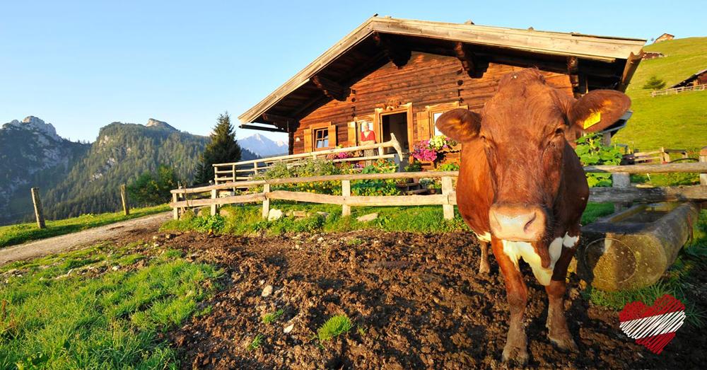 Kuh vor einer Almhütte