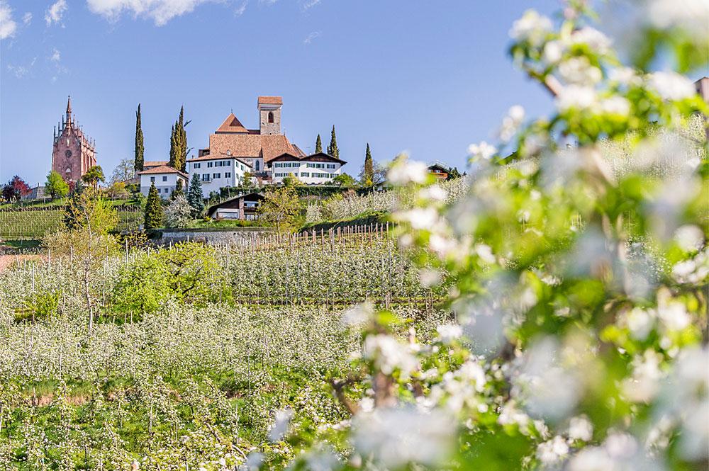 Apfelblüte in Schenna, Südtirol