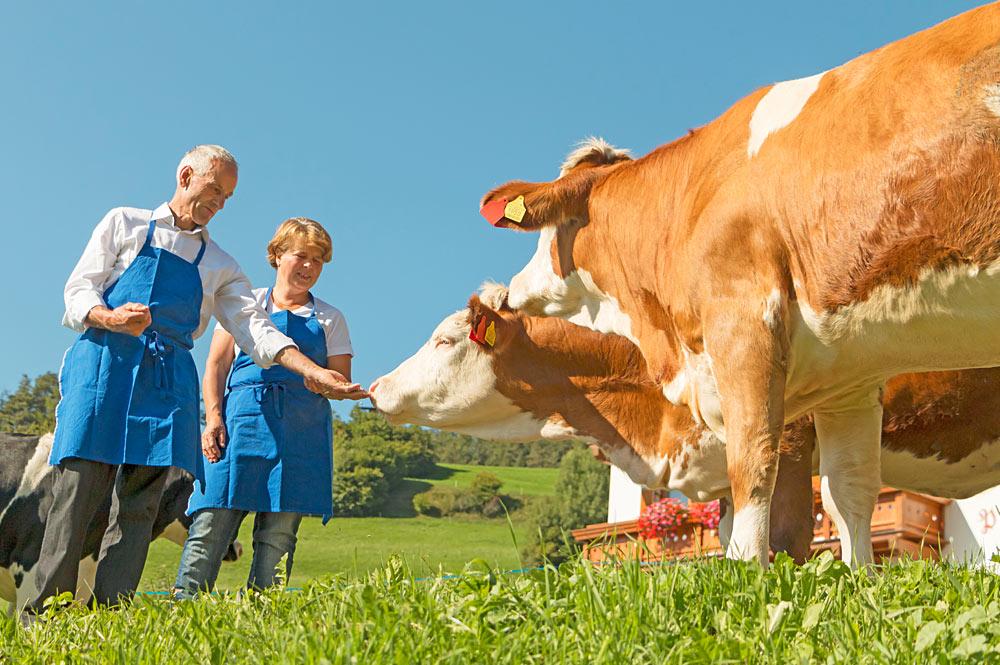 Milchkühe auf einer Südtiroler Weide