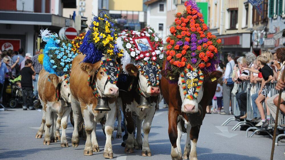 Festlich geschmückte Kühe