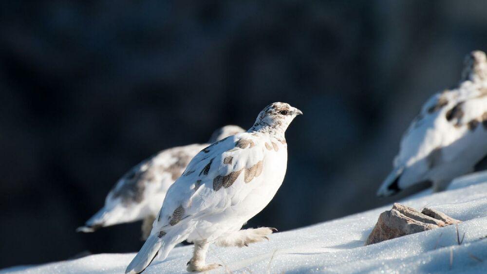 Schneehühner in ihrem natürlichem Lebensraum - den Bergregionen der Alpen