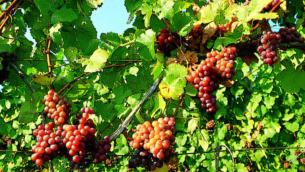 Die Trauben werden im Herbst geerntet