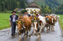 Alpabzug in der Region Les Paccots © FRIBOURG REGION / Eric Fookes