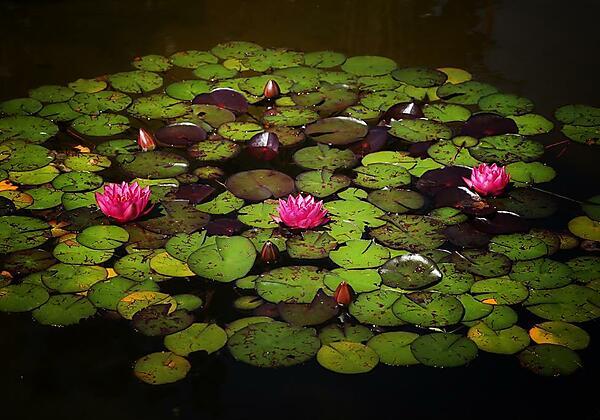 Seerosen im Teich