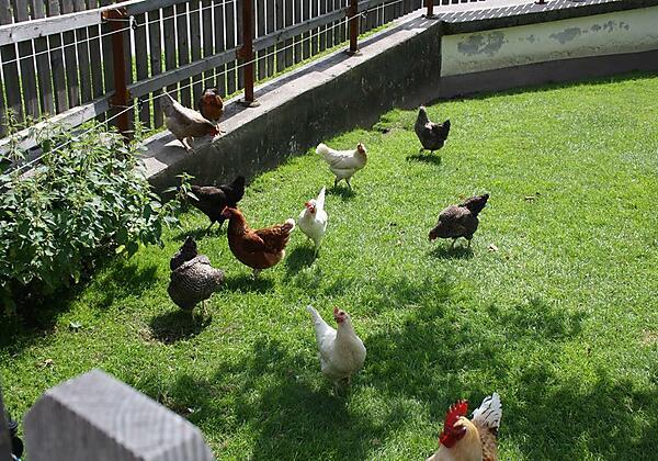Hühner Stadlpoint Ried Pferde Ried Zillertal
