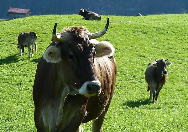 Kühe auf der Alpe