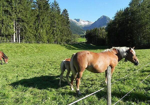 Blick zum Nebelhorn mit Haflinger