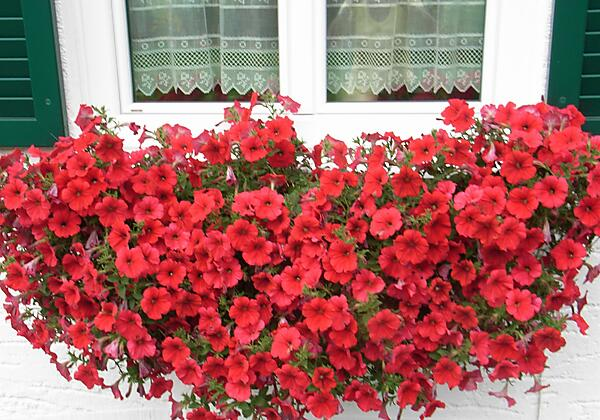 Blumen am Haus