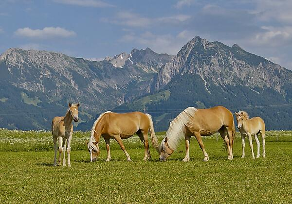 Urlaub auf dem Haflinger Hof im Allgäu