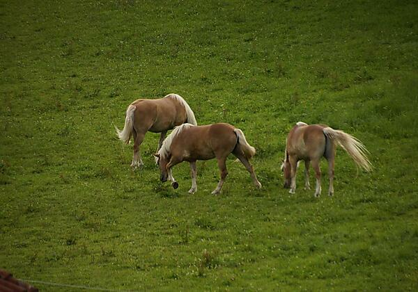 Pferde auf der Allgäuer Weide