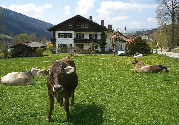 Kühe am Haus